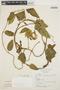 Prestonia mollis Kunth, PERU, N. Angulo 2138, F