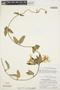 Prestonia mollis Kunth, PERU, P. C. Hutchinson 3526, F