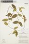 Prestonia mollis Kunth, Peru, D. R. Simpson 496, F