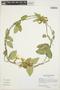Prestonia mollis Kunth, PERU, M. McMahon 626, F