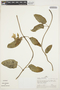 Prestonia mollis Kunth, PERU, A. H. Gentry 22733, F