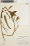 Prestonia mollis Kunth, PERU, A. Sagástegui A. 7489, F