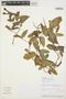 Prestonia mollis Kunth, PERU, C. Díaz S. 9933, F