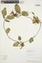 Prestonia mollis Kunth, PERU, R. Rojas 919, F