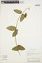 Prestonia mollis Kunth, ECUADOR, B. Hansen 7940, F