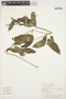 Prestonia mollis Kunth, PERU, P. J. Barbour 4272, F
