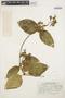 Prestonia mollis Kunth, PERU, H. E. Stork 10499, F