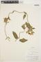 Prestonia mollis Kunth, PERU, P. C. Hutchinson 1406, F