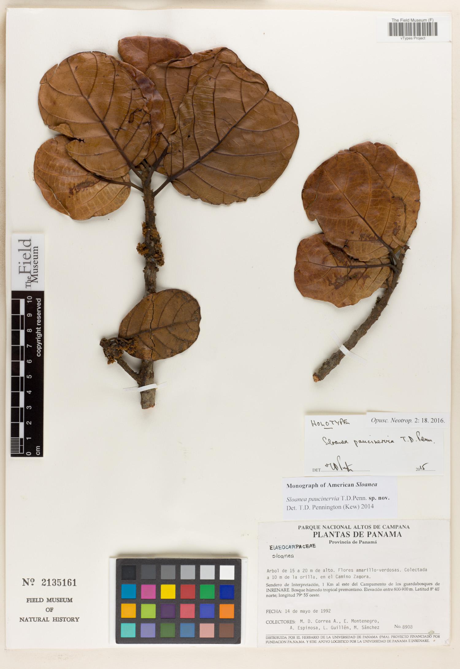 Specimen: Sloanea paucinervia