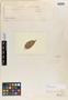 Prestonia mollis Kunth, PERU, F. W. H. A. von Humboldt, Isotype, F