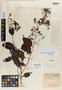 Caraipa laxiflora Benth., BRITISH GUIANA [Guyana], R. H. Schomburgk 583, Isotype, F
