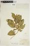 Asclepias nyctaginifolia image