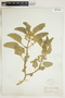 Asclepias oenotheroides Schltdl. & Cham., U.S.A., S. M. Tracy 7978, F