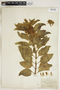 Asclepias oenotheroides Schltdl. & Cham., U.S.A., H. Wurzlow, F