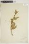 Asclepias oenotheroides Schltdl. & Cham., U.S.A., J. Schneck, F