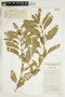 Asclepias oenotheroides Schltdl. & Cham., U.S.A., R. Runyon 2086, F