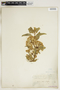 Asclepias oenotheroides Schltdl. & Cham., U.S.A., G. R. Vasey, F