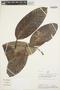 Rhigospira quadrangularis (Müll. Arg.) Miers, PERU, Rod. Vásquez 2056, F