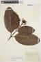 Rhigospira quadrangularis (Müll. Arg.) Miers, BRAZIL, A. Ducke 471, F