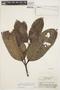 Rhigospira quadrangularis (Müll. Arg.) Miers, BRAZIL, R. de Lemos Fróes 21149, F