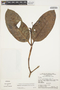 Rhigospira quadrangularis (Müll. Arg.) Miers, BRAZIL, G. T. Prance 12242, F