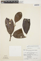 Rhigospira quadrangularis (Müll. Arg.) Miers, BRAZIL, G. T. Prance 3013, F