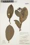 Rhigospira quadrangularis (Müll. Arg.) Miers, BRAZIL, W. C. Steward 12717, F