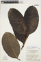 Rhigospira quadrangularis (Müll. Arg.) Miers, BRAZIL, G. T. Prance 10804, F