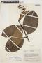 Rhigospira quadrangularis (Müll. Arg.) Miers, VENEZUELA, J. A. Steyermark 74748, F