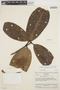 Rhigospira quadrangularis (Müll. Arg.) Miers, VENEZUELA, J. A. Steyermark 75361, F