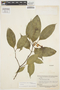 Stemmadenia cerea Woodson, BRITISH GUIANA [Guyana], B. Maguire 23536, Paratype, F