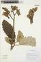 Wigandia urens (Ruíz & Pav.) Kunth, Peru, I. M. Sánchez Vega 12641, F