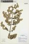 Minthostachys mollis (Kunth) Griseb., Peru, I. M. Sánchez Vega 12337, F
