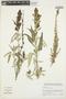 Salvia lanicaulis Epling & Játiva, Peru, I. M. Sánchez Vega 12697, F