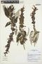 Salvia L., Peru, I. M. Sánchez Vega 12541, F