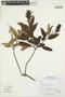 Salvia L., Peru, A. Sagástegui A. 17512, F