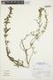 Salvia L., Peru, A. Sagástegui A. 17448, F
