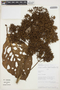 Cinchonopsis amazonica (Standl.) L. Andersson, PERU, A. Monteagudo 4188, F