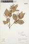 Myrcia mollis (Kunth) DC., Peru, I. M. Sánchez Vega 8500, F