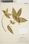 Tabernaemontana rupicola Benth., BRAZIL, A. Ducke 1408, F