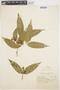 Tabernaemontana rupicola Benth., BRAZIL, A. Ducke 252, F