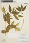 Tabernaemontana rupicola Benth., Brazil, G. T. Prance 3353, F