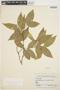 Tabernaemontana rupicola Benth., BRAZIL, R. de Lemos Fróes 12542/236, F
