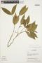 Tabernaemontana rupicola Benth., BRAZIL, M. T. Madison 6073, F