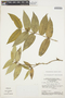 Tabernaemontana rupicola Benth., BRAZIL, G. T. Prance 14818, F