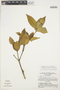 Tabernaemontana rupicola Benth., BRAZIL, G. T. Prance 14588, F