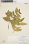 Tabernaemontana rupicola Benth., BRAZIL, G. T. Prance 3121, F