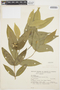 Tabernaemontana rupicola Benth., BRAZIL, W. A. Rodrigues 8599, F