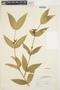 Tabernaemontana rupicola Benth., BRAZIL, R. de Lemos Fróes 12012/13, F