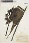 Phaius tancarvilleae (L'Hér.) Blume, BRAZIL, P. Dusén 15750, F